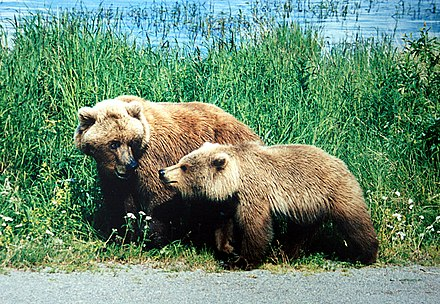 Mother grizzly with a cub A mother and a cub bears.JPG