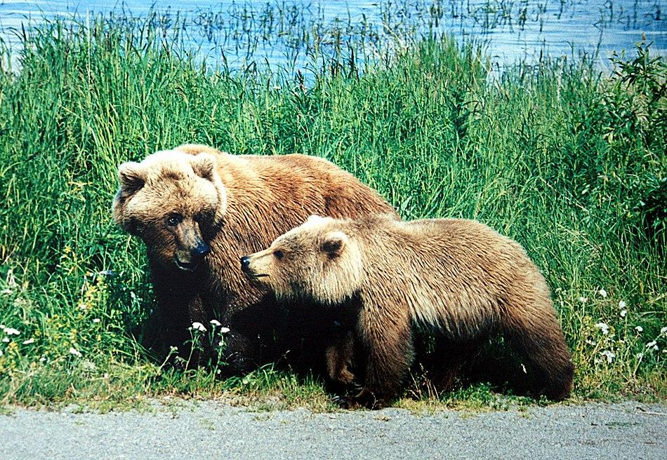 link=https://en.wikipedia.org/wiki/Grizzly bear