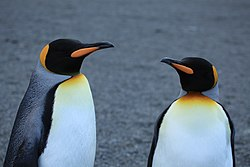 A pair of King Penguins (5849248976).jpg