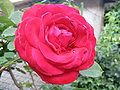 A red rose with dewdrops 2.jpg
