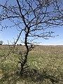 A scraggly tree at Rock Creek Crossing in Council Grove, KS -2 (81f6b68b44874342a79f4c5ef5d59987).JPG