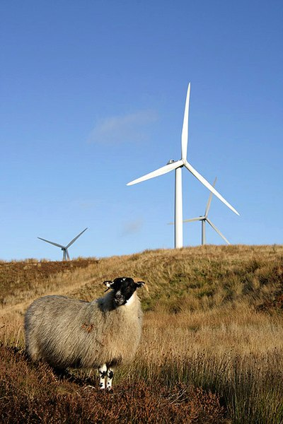File:A sheep at Crystal Rig Wind Farm - geograph.org.uk - 1575026.jpg