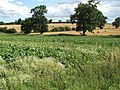A sugar beet crop - geograph.org.uk - 1452945.jpg