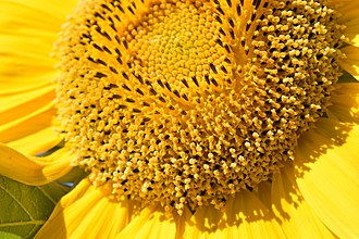 Helianthus - Close-up of a sunflower