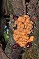 A weird parasite Balanophora sp. (36388115043).jpg