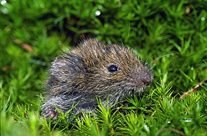 Field vole - Young field vole