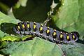 Abia sericea larvae 1.jpg