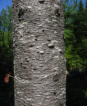 Abies balsamea - Image: Abies balsamea bark