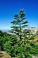 Abies nebrodensis Castellana Sicula1.jpg