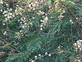 Acacia caesia 01.JPG