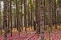 Acadia National Park, October Forest (30368808116).jpg