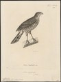 Accipiter virgatus - 1700-1880 - Print - Iconographia Zoologica - Special Collections University of Amsterdam - UBA01 IZ18300119.tif