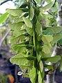 Acer cissifolium henryi 1zz.jpg