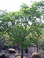 Acer palmatum 5zz.jpg