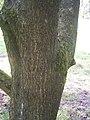 Acer pictum ssp pictum R0019754.JPG