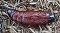 Acherontia styx (Thailand, Nonthaburi, Bang Bua Thong, Soi Mu Ban Bua Thong 1, 17.i.2015) (D. Kruger) pupa 1.jpg