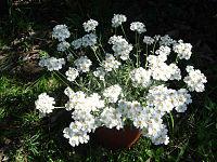 Achillea ageratifolia 2