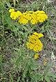 Achillea filipendulina Fernleaf Yarrow ყვითელი ფარსმანდრუკი.JPG