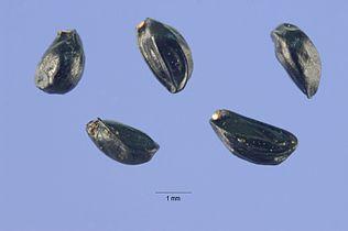 Aconitum columbianum seeds.jpg