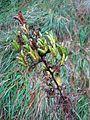 Aconitum variegatum subsp. pyrenaica, J. Garmendia 3131.JPG