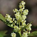 Aconogonon weyrichii var. alpinum (male).JPG