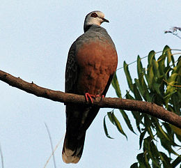 Adamawa Turtle-dove (Streptopelia hypopyrrha) on branch