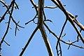 Adansonia digitata 21zz.jpg