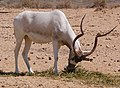 Addax-1-Zachi-Evenor (cropped-01).jpg