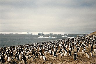 Erebus and Terror Gulf - Adélie penguin rookery at Erebus and Terror Gulf on Paulet Island, 1996.