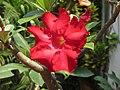 Adenium Obesum Flower from Goa India.jpg
