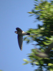 Aerodramus francicus.jpg