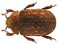 Aesalus scarabaeoides (Panzer, 1794) (5296429476) (2).jpg