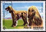 Afghan-Hound-Canis-lupus-familiaris Romania 1990.jpg