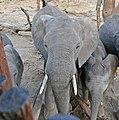 African Elephants (Loxodonta africana) visiting the hide to drink ... (33014808532).jpg