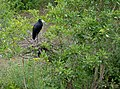 African Openbill (Anastomus lamelligerus) on nest (12011474563).jpg