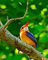 African Pygmy Kingfisher (Ispidina picta) (32820946140).jpg