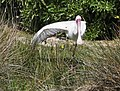 African Spoonbill doing yoga at Rondevlei Nature Preserve (44701612322).jpg