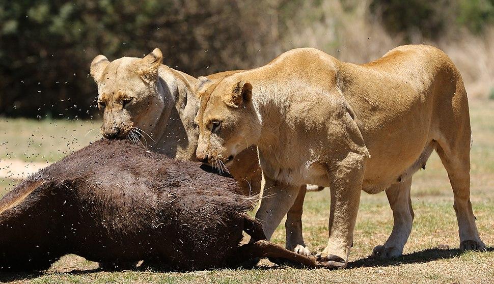 African lion, Panthera leo feeding at Krugersdorp Game Park, South Africa (29444030283)