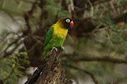 Green parrot with yellow neck, black head, and red beak