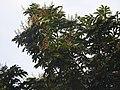 Aglaia spectabilis flowering2372.jpg