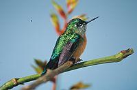 Aglaiocercus kingi (female) -NBII Image Gallery-a00187
