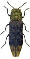 Agrilus diversornatus holotype - ZooKeys-256-035-g001-7.jpeg