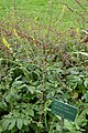 Agrimonia eupatoria in Jardin des plantes 01.jpg