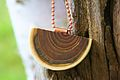 Agrosylva - Jewelry - Sumac Wood - Vinagrier - Wood Jeweley.JPG
