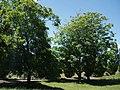 Ailanthus altissima (Mill.) Swingle (AM AK301470).jpg