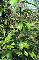 Alangium salviifolium leaves 04.JPG