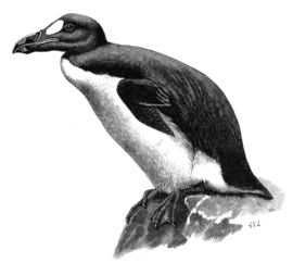 Great Auk by GE Lodge