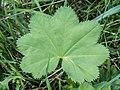 Alchemilla monticola leaf (19).jpg