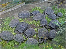 Aldabra giant tortoise - Wikipedia, the free encyclopedia