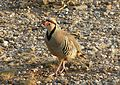 Alectoris chukar -near Temple of Poseidon, Cape Sounion, Greece-8.jpg